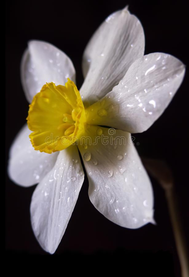 White daffodil flower on a black background stock photo