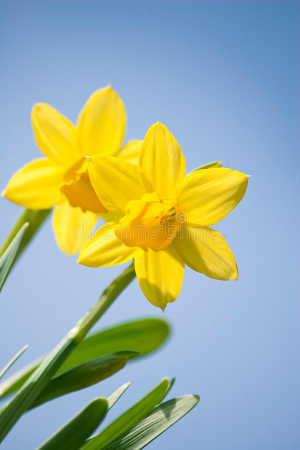 Download Daffodil Flowers Royalty Free Stock Images - Image: 13647049