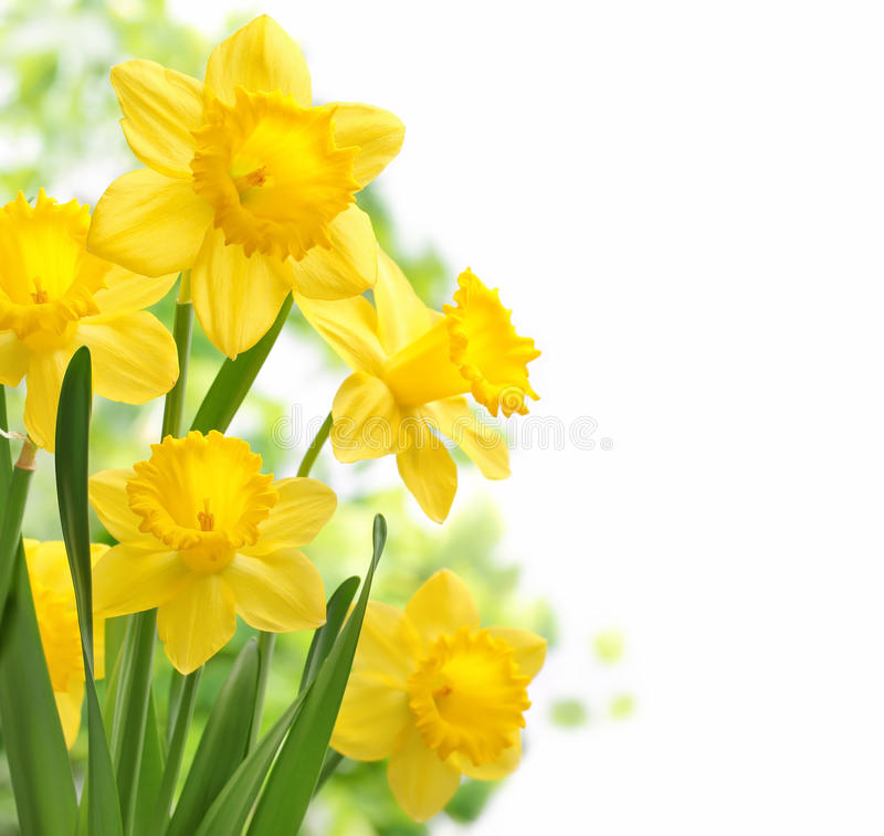 Free Daffodil Flowers Stock Image - 38767481