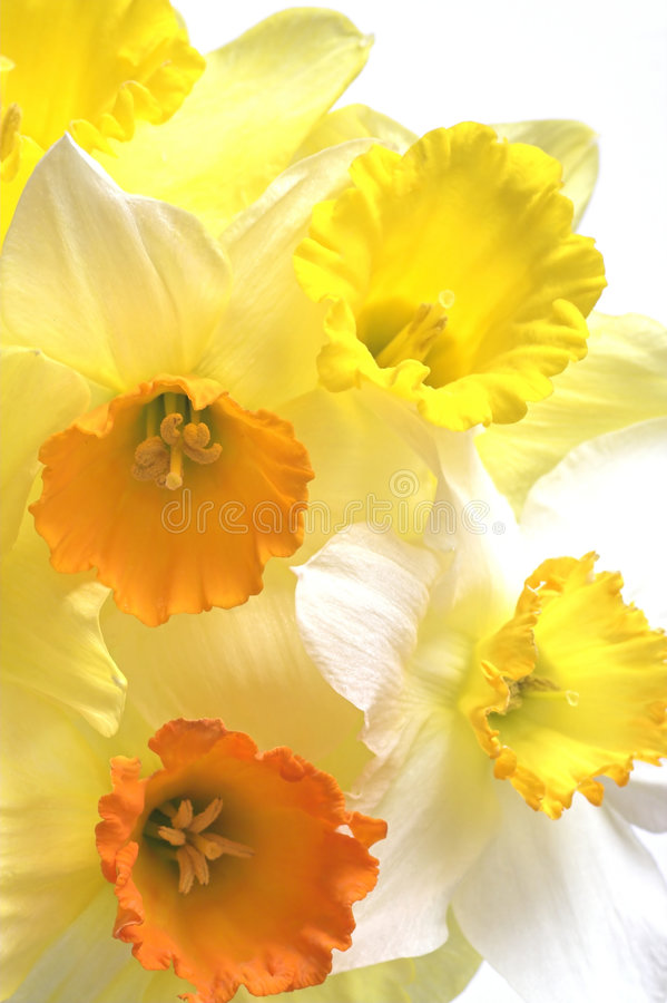 Daffodil Flowers. A selection of different colored daffodil flowers on a white background royalty free stock photo