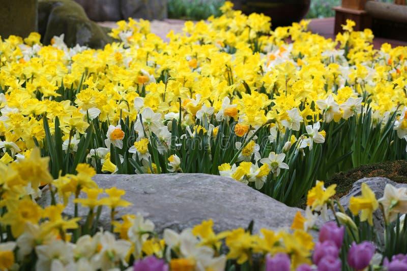 Daffodil Flowers Stock...