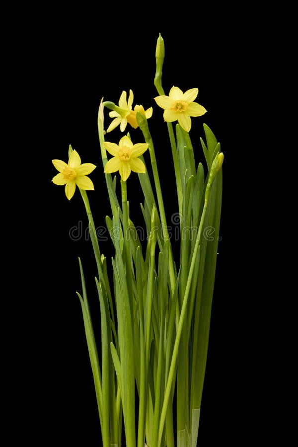 Daffodil flowers on black background stock images