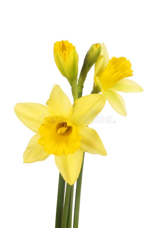 Download Daffodil flowers and buds stock image. Image of white - 109857745