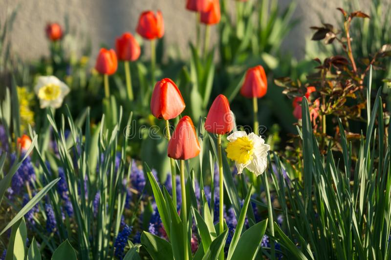 Daffodil flowers and other spring flowers in grass in garden. Slovakia stock photo