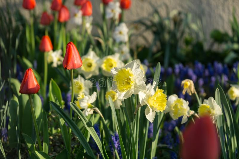 Daffodil flowers and other spring flowers in grass in garden. Slovakia stock photos