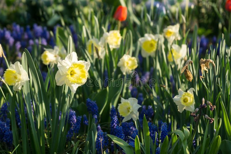 Daffodil flowers and other spring flowers in grass in garden. Slovakia royalty free stock photo