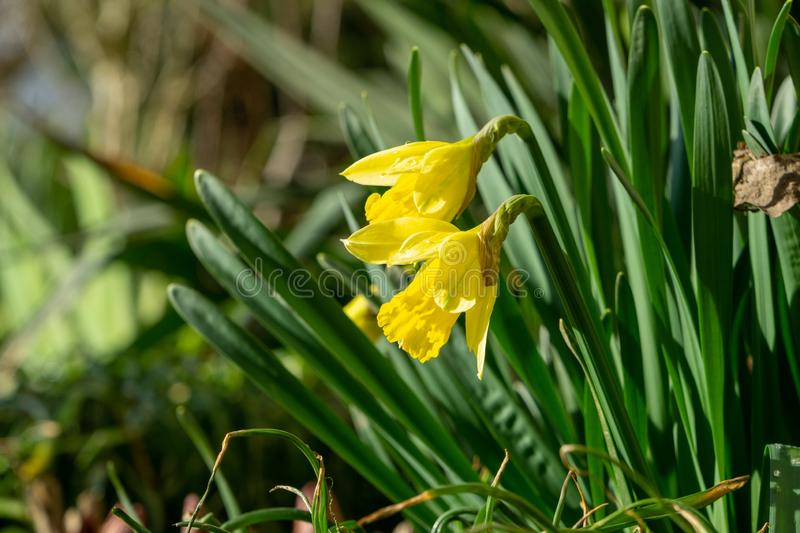 Daffodil flowers and other spring flowers in grass in garden. Daffodil flowers and other spring flowers during sunrise  in grass in garden. Slovakia royalty free stock photo