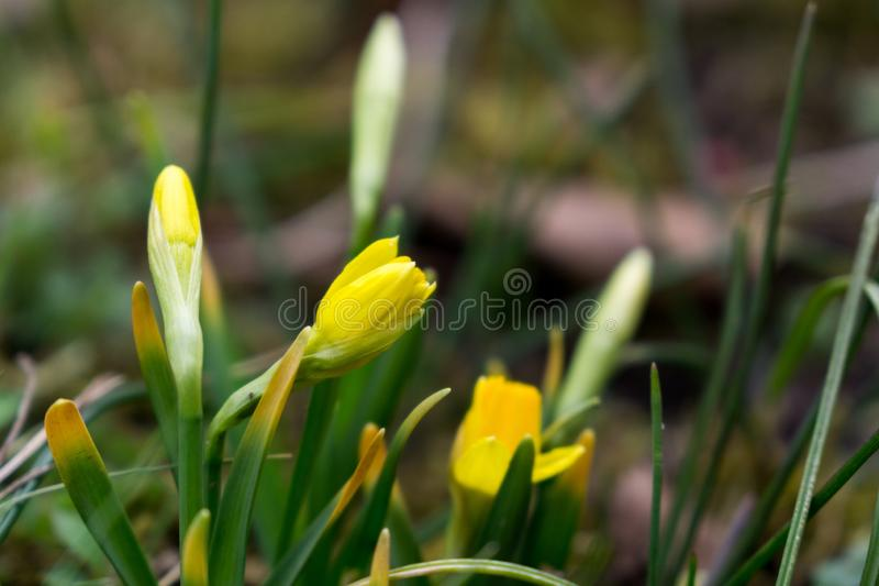 Daffodil flowers and other spring flowers in grass in garden. Daffodil flowers and other spring flowers during sunrise  in grass in garden. Slovakia stock photos
