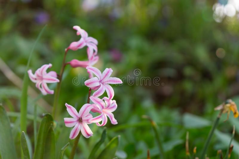 Daffodil flowers and other spring flowers in grass in garden. Daffodil flowers and other spring flowers during sunrise  in grass in garden. Slovakia royalty free stock photography