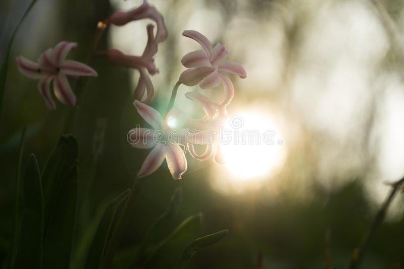 Daffodil flowers and other spring flowers in grass in garden. Daffodil flowers and other spring flowers during sunrise  in grass in garden. Slovakia royalty free stock image