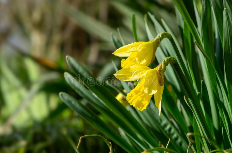 Daffodil flowers and other spring flowers in grass in garden. Daffodil flowers and other spring flowers during sunrise  in grass in garden. Slovakia royalty free stock images