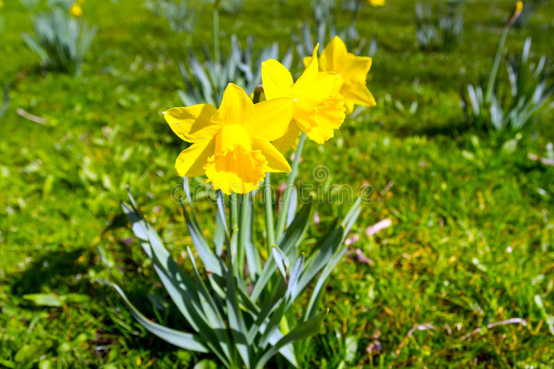 Download Daffodil Flowers Stock Photo - Image: 31352860