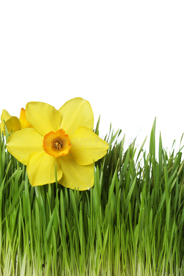 Daffodil On Green Grass Stock Images