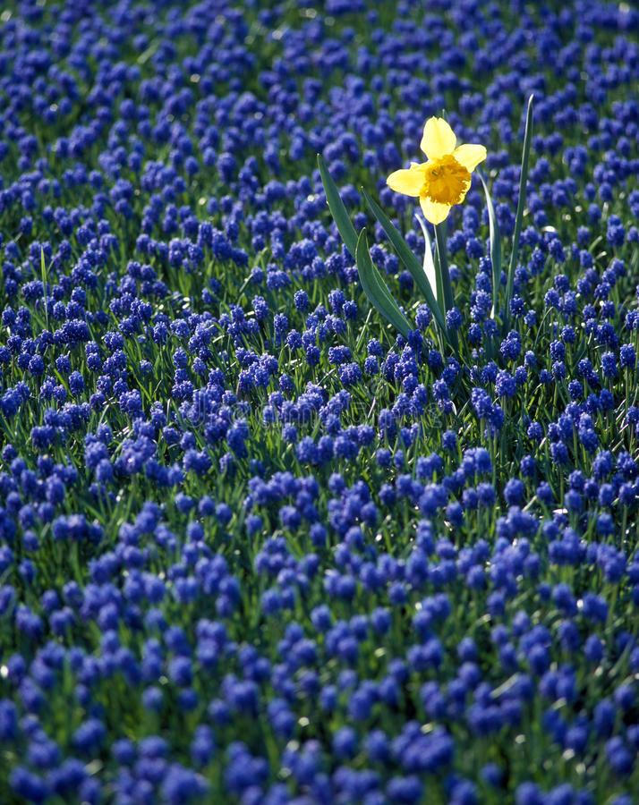 Download Daffodil in hyacinth field stock image. Image of hyacinths - 11383931