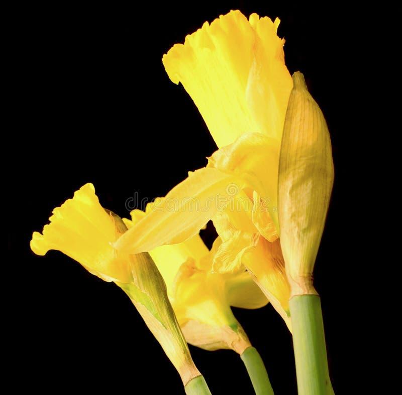 Daffodil royalty free stock photo