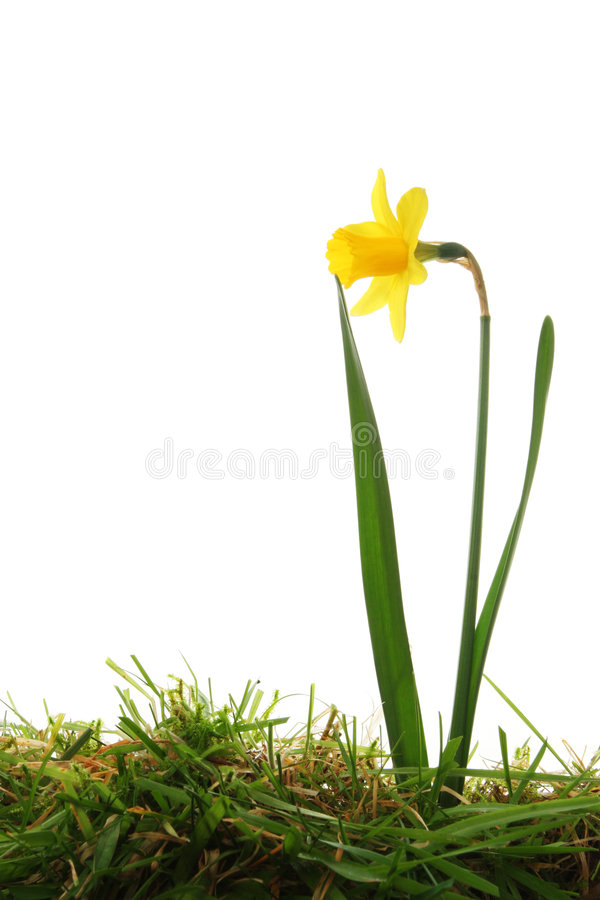 Free Daffodil In Grass Royalty Free Stock Images - 8416669