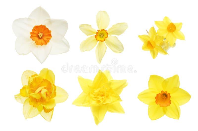 daffodil inkasowi kwiaty obrazy stock