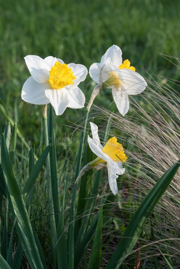 Daffodil John Evelyn narcissus and Festuca glauca blue fescue. In the rock garden, Latvia, Europe royalty free stock photos