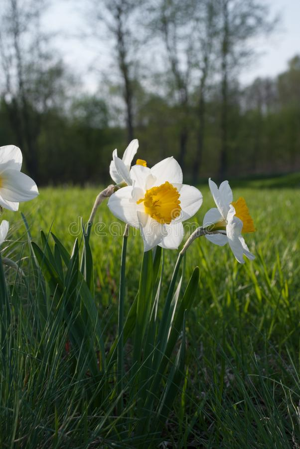Daffodil John Evelyn narcissus and Festuca glauca blue fescue. In the rock garden, Latvia, Europe royalty free stock photography