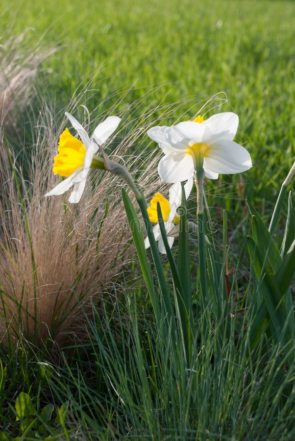 Daffodil John Evelyn narcissus and Festuca glauca blue fescue. In the rock garden, Latvia, Europe stock photos