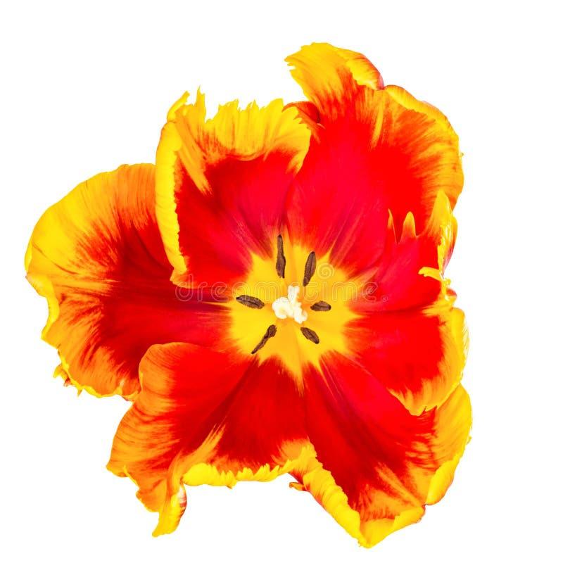 Daffodil kwiat na białym ptaka oka widoku obraz stock