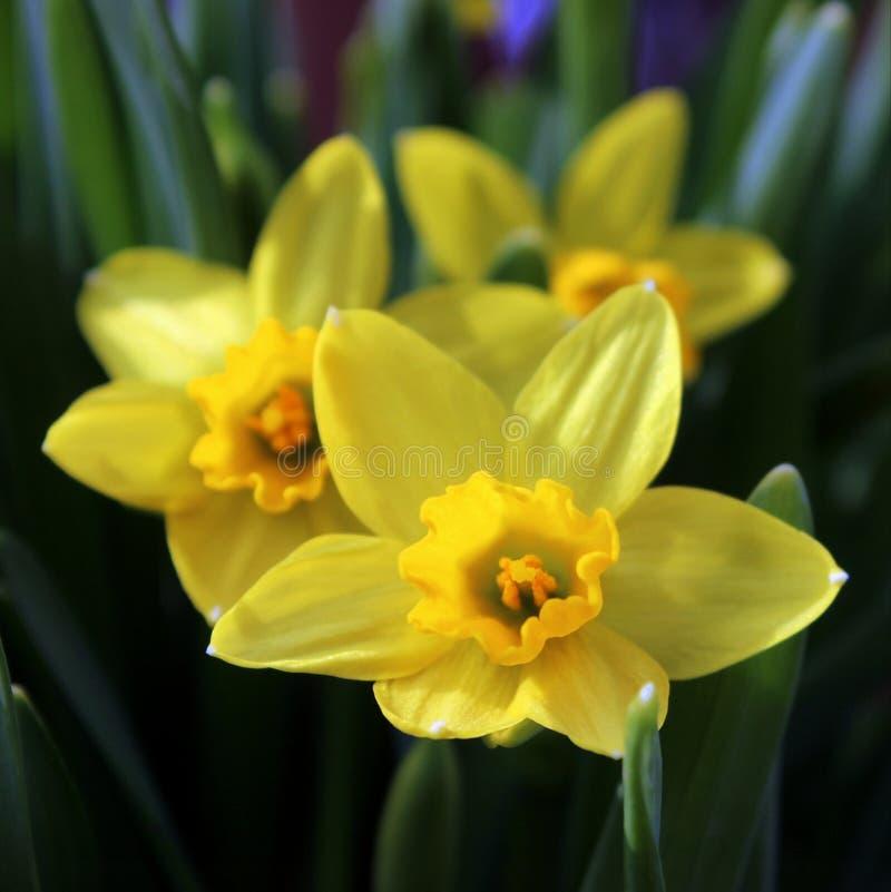 Daffodil kwiatu tercet obrazy royalty free
