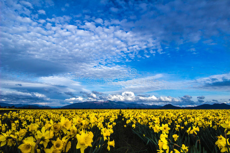 Daffodil Love. Gorgeous display of colorful daffodils under an amazing sky at a farm in the Skagit Valley of Washington royalty free stock images