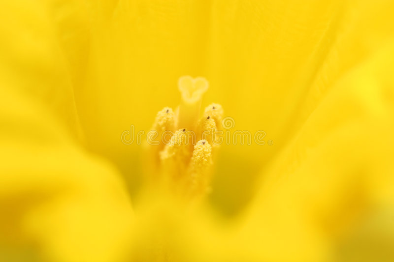 Daffodil macro. Macro of core of a yellow daffodil, very shallow depht of field stock photos