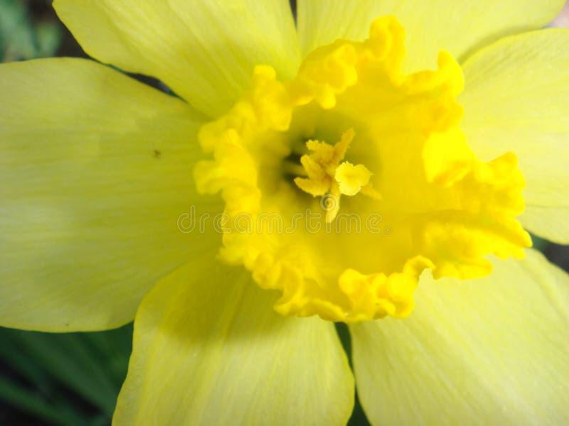 Daffodil macro on a dark background stock photos