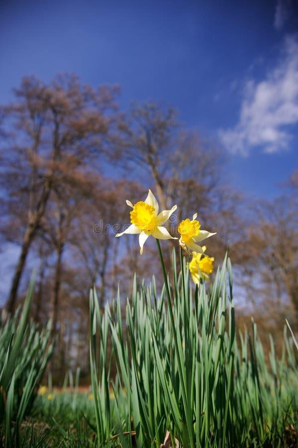 Daffodil na mola fotografia de stock