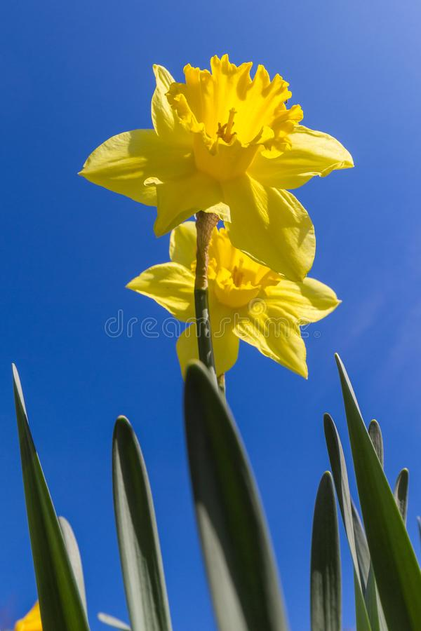 Daffodil or Narcissus flower announcing spring to come royalty free stock photo