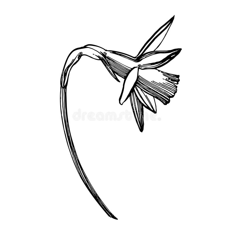 Daffodil or Narcissus flower drawings. Collection of hand drawn black and white daffodil. Hand Drawn Botanical royalty free illustration