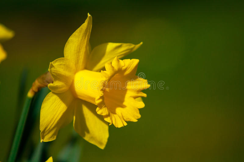 Daffodil (Narcissus). Daffodil flower (Narcissus spp.) in an Irish spring garden royalty free stock image