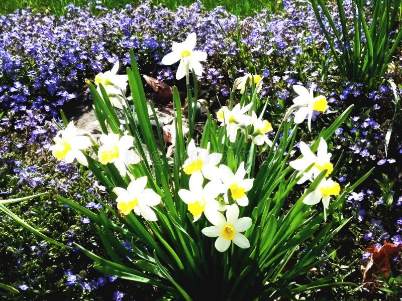 Daffodil niebo obrazy stock