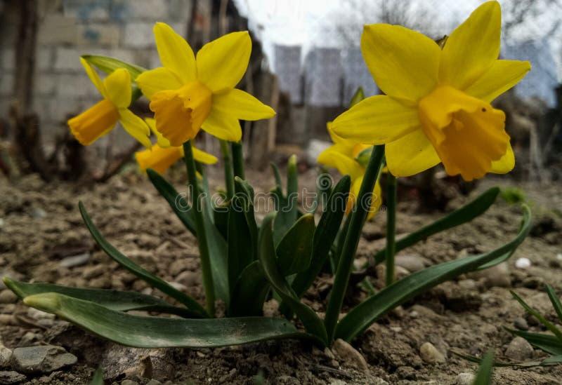 Daffodil od mój ogródu fotografia royalty free