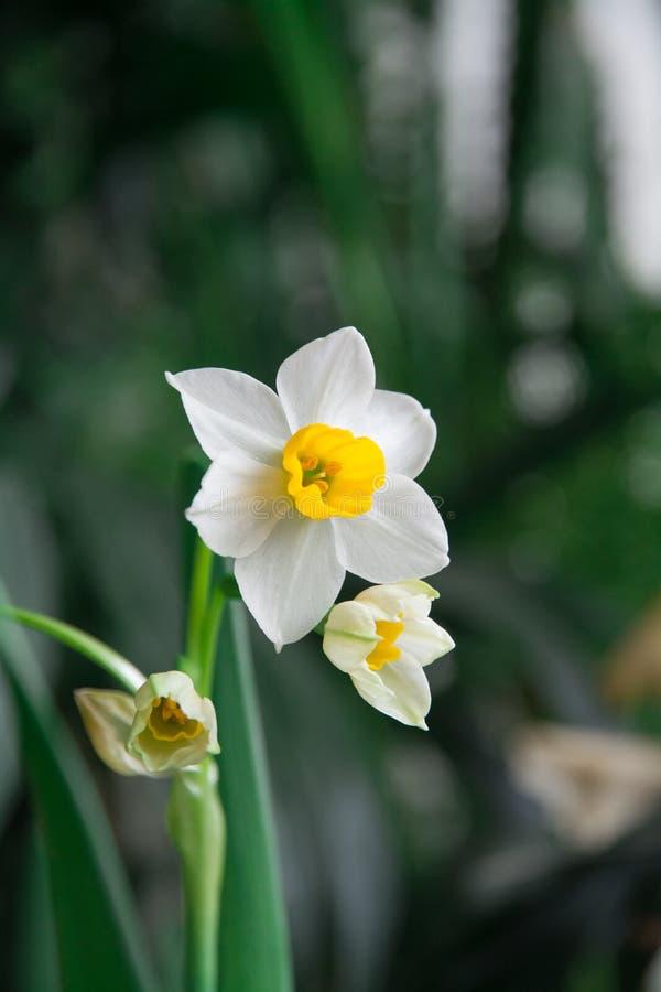 Daffodil okwitnięcie z zielonym tłem fotografia stock