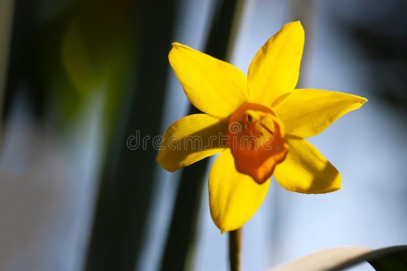 Daffodil okwitnięcie zdjęcia royalty free