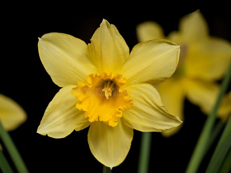Yellow daffodils flowers on dark background. Daffodil other common names: narcissus, jonquil is a genus of predominantly spring perennial plants of the amaryllis royalty free stock photography