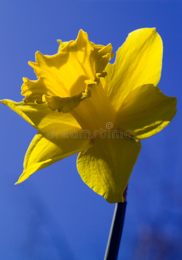 Download Daffodil, with path stock photo. Image of blue, clipping - 973386