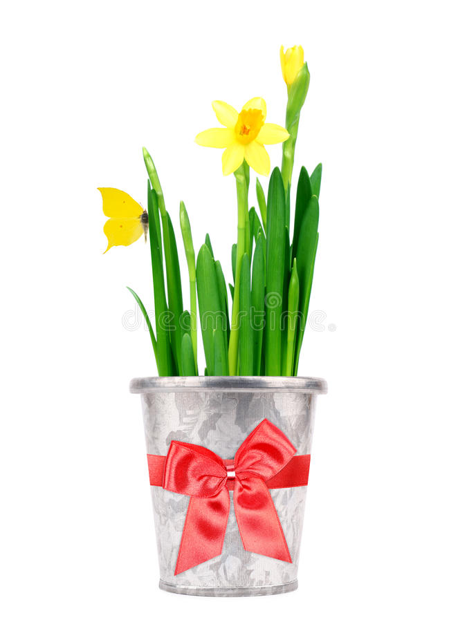 Daffodil in a pot stock photo