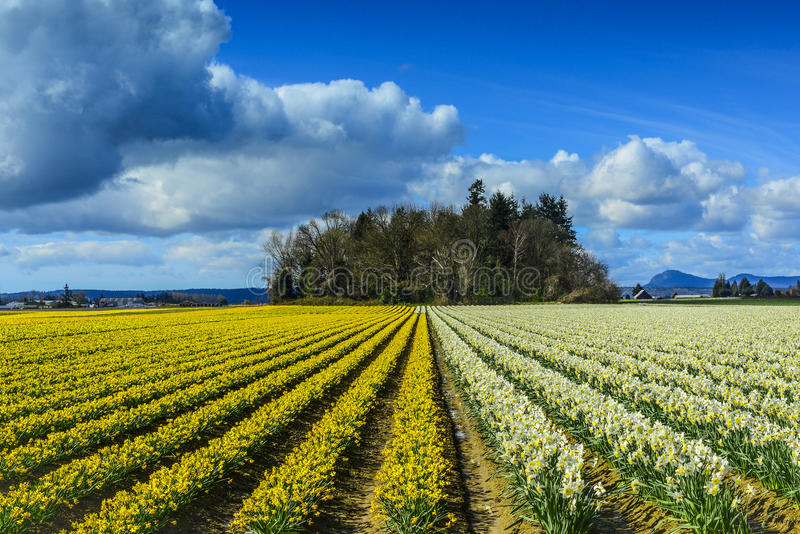 Daffodil Rows near Mt Vernon, Washington. Daffodil Rows taken at time of Skagit Valley tulip festival near Mt Vernon, Washington. Beautiful blue sky and a stand royalty free stock images