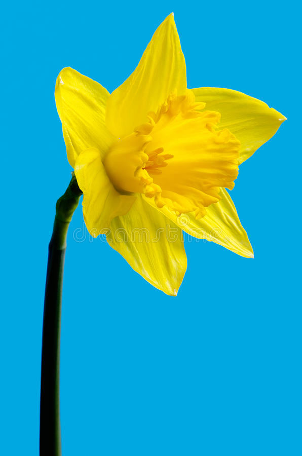 Daffodil selvagem foto de stock royalty free