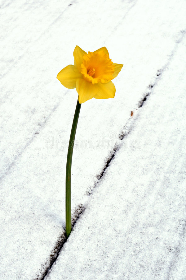 Daffodil in the snow. Yellow daffodil growing through snow-covered planks royalty free stock photos