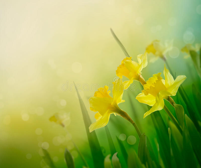 Daffodil spring background. Daffodil floral spring background. Easter Spring Flowers. Elegant Mother's Day gift. Springtime green background royalty free stock photos