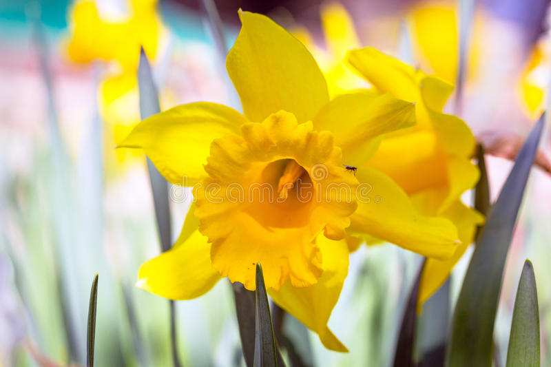 Daffodil Spring Flowers Stock Photo