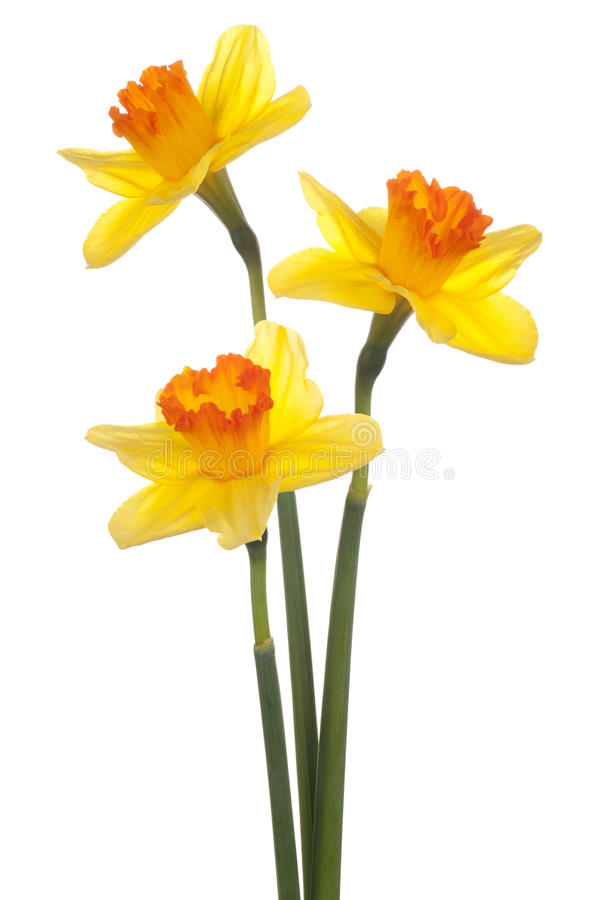 Daffodil. Studio Shot of Yellow Colored Daffodil Flowers Isolated on White Background. Large Depth of Field (DOF). Macro. Symbol of Self-love and Respect stock photo