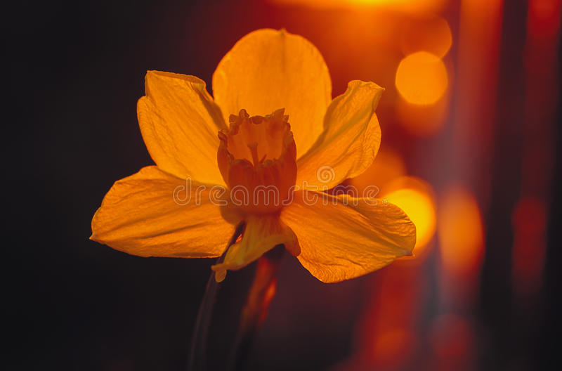 Daffodil in the sunlight. Yellow daffodil in the sunlight stock images