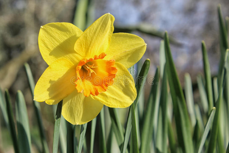 Daffodil on a sunny day. Beautiful yellow daffodil bloom in a sunny garden in spring royalty free stock photography