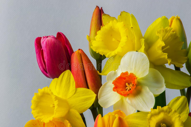Daffodil and tulip flowers macro. royalty free stock images