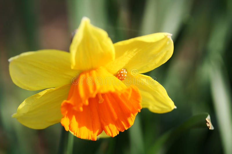 Daffodil. Unusually colored ladybug hiding in a daffodil stock photos